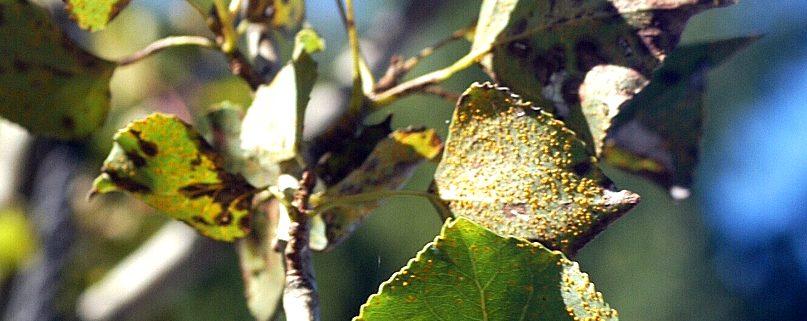 Pflanzenschutz – Baumkrankheiten erkennen: Blattrost an Pappel