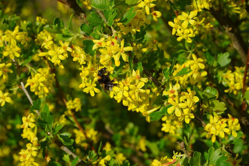 Vier vorteile in einer beere die vierbeere - Arbuste fleurs jaunes qui fleurit printemps ...
