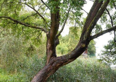 190121_Baum-des-Jahres-2015_Feldahorn-alter-Baum-1030x1030