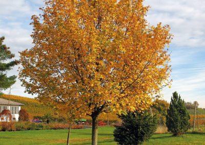 190121_Baum-des-Jahres-2015_Feldahorn-junger-Baum-A-Roloff-1030x1030