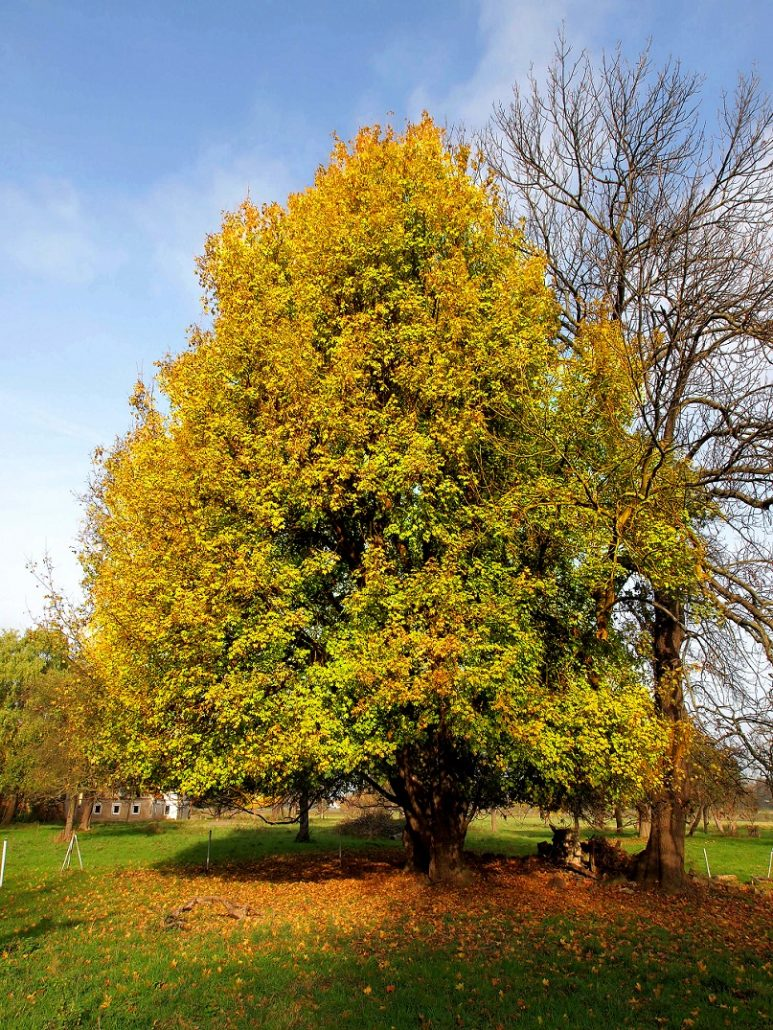 Baum des Jahres 2015: Feld-Ahorn, Foto: A. Roloff