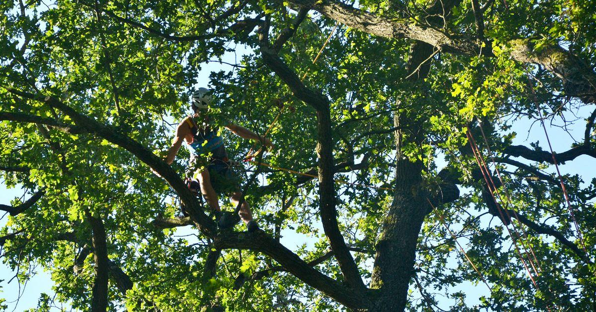 Kletterausrüstung Zum Bäume Fällen : Baumklettern pflegen und fällen mit seilklettertechnik