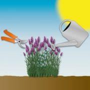 Duftwunder Lavendel: Alles rund um Pflege und Schnitt