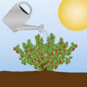 Johannisbeerstrauch mit viel Sonne wird gegossen