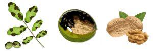 Braune Flecken an Walnuss: Marssonina-Pilz oder Walnussfruchtfliege?