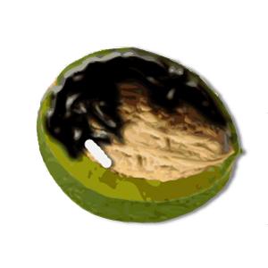 Walnussfruchtfliege