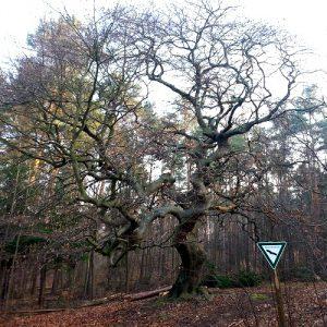 Starke Baumtypen: Skurrile Wuchsformen (Uwe Peter)