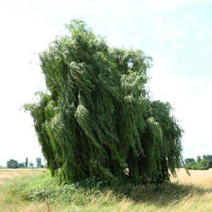 Starke Baumtypen: Trauerweide auf der Wiese