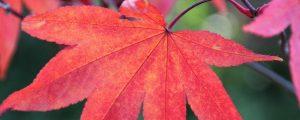 Leuchtend rotes Ahornblatt