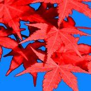 Feuerrote Blätter des Japanischen Ahorn vor blauem Himmel