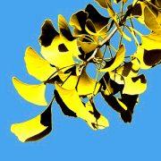 Gelbe Blätter des Ginkgo vor blauem Himmel