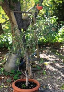 Starke Baumtypen: Olivenbäumchen im Topf