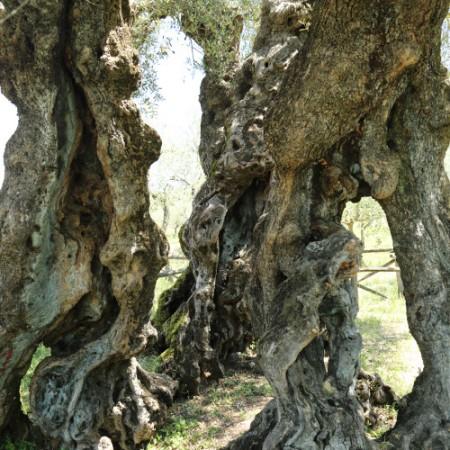 Starke Baumtypen: alter Olivenbaum in Trevi