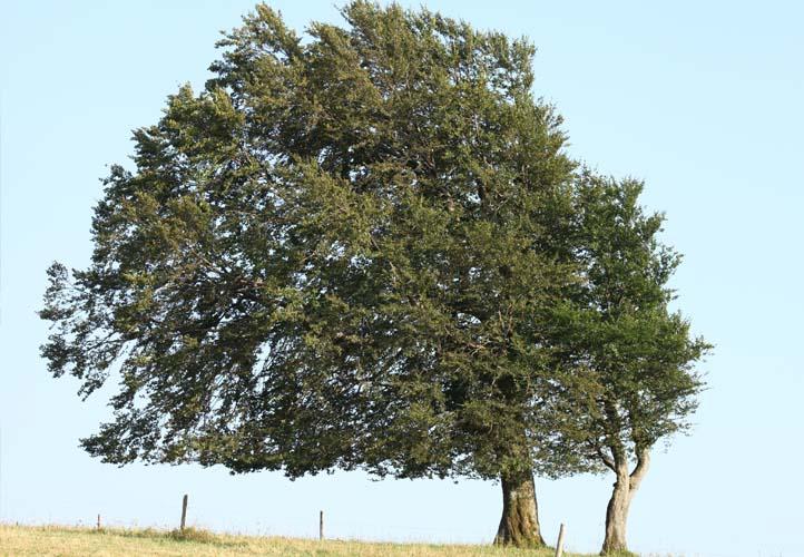 Starke Baumtypen: Windbuchen auf dem Schauinsland im Sommer