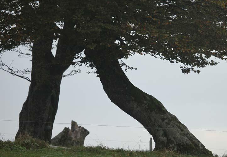 Starke Baumtypen: Windbuchen auf dem Schauinsland im Herbst