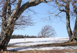 Starke Baumtypen: Windbuchen auf dem Schauinsland im Winter