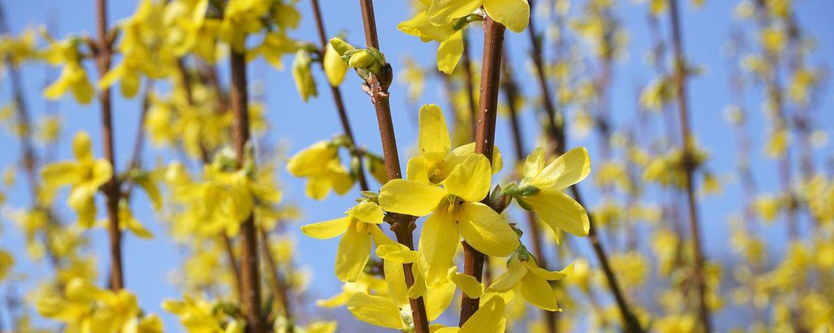 Zweige mit gelben Blüten
