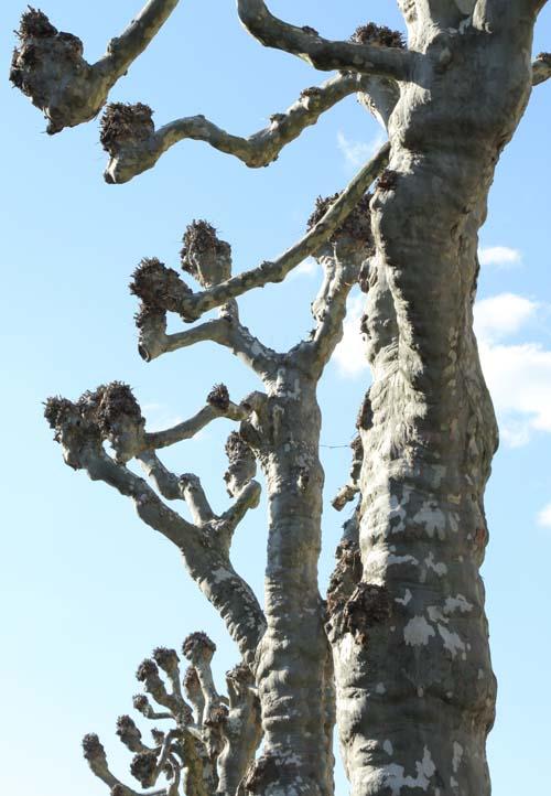 Starke Baumtypen April 2016: Kopfplatanen 01