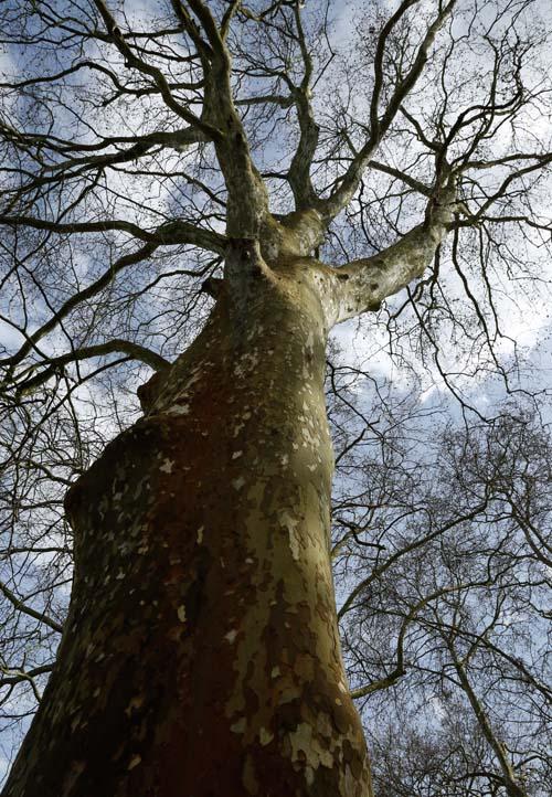 Starke Baumtypen April 2016: Platanenallee in Sélestat (FR) 01