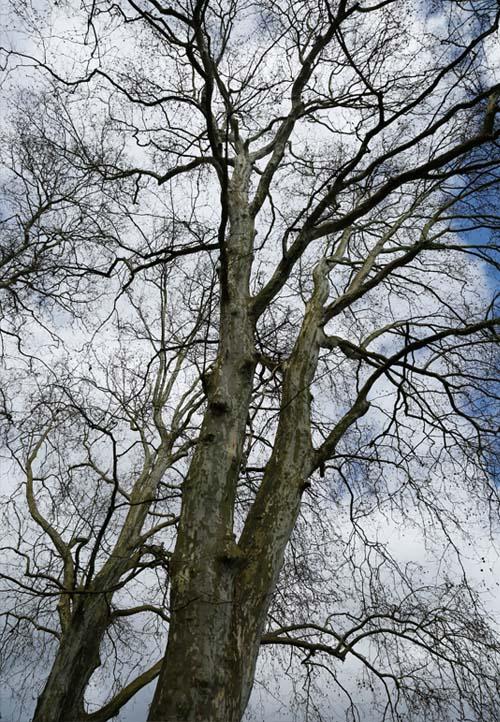 Starke Baumtypen April 2016: Platanenallee in Sélestat (FR) 02