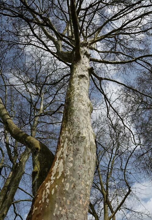 Starke Baumtypen April 2016: Platanenallee in Sélestat (FR) 04