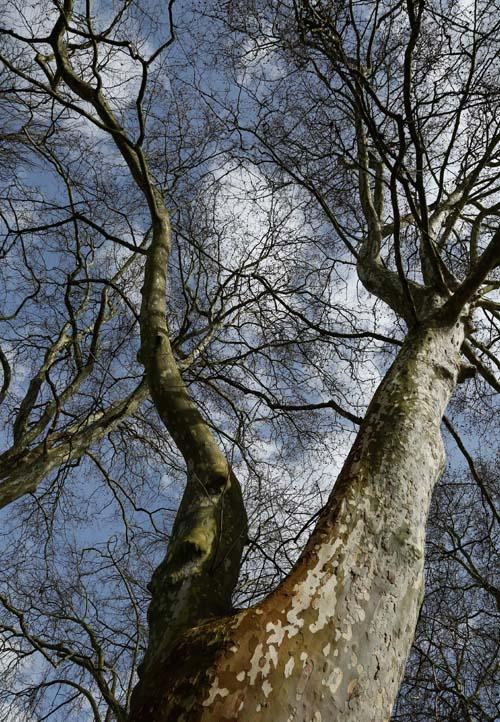 Starke Baumtypen April 2016: Platanenallee in Sélestat (FR) 05