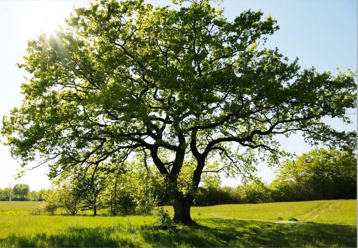 Starke Baumtypen: Eiche im Seidengewand 01