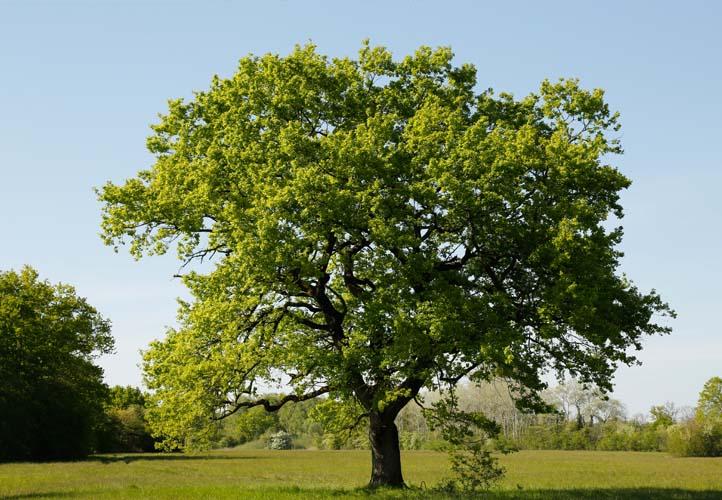 Starke Baumtypen: Eiche im Seidengewand 02