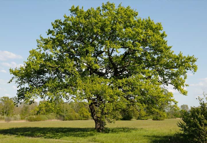 Starke Baumtypen: Eiche im Seidengewand 03