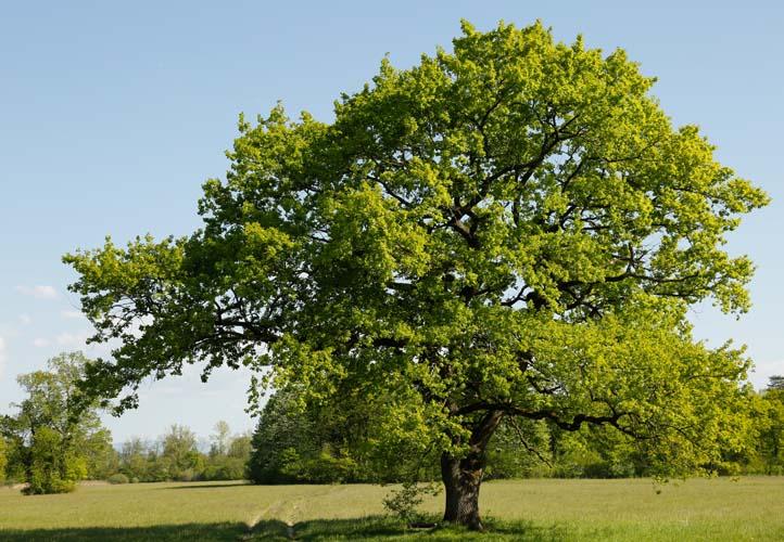 Starke Baumtypen: Eiche im Seidengewand 04