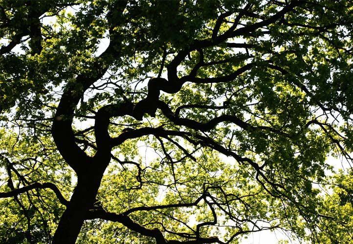 Starke Baumtypen: Eiche im Seidengewand 05