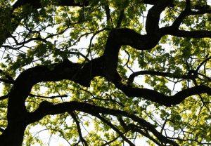 Starke Baumtypen: Eiche im Seidengewand