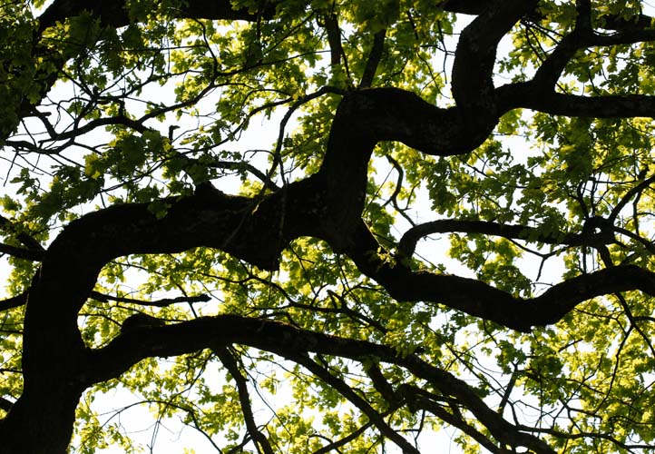 Starke Baumtypen: Eiche im Seidengewand 06