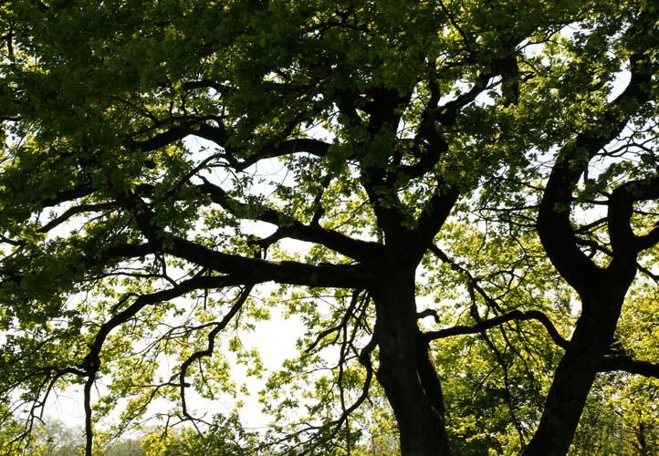 Starke Baumtypen: Eiche im Seidengewand 07