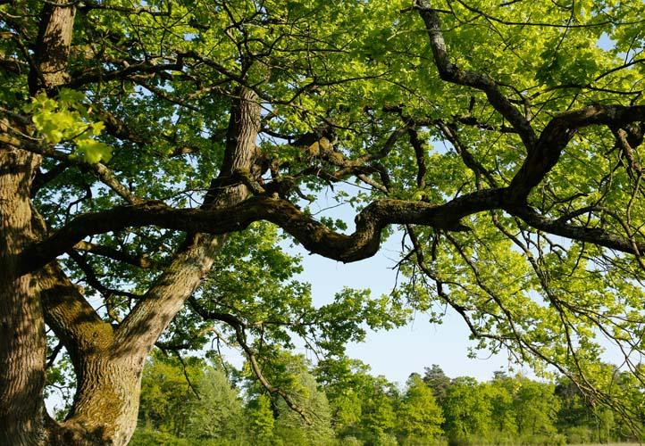 Starke Baumtypen: Eiche im Seidengewand 08