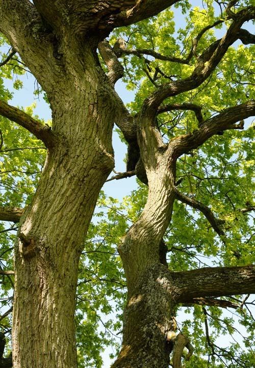 Starke Baumtypen: Eiche im Seidengewand 09