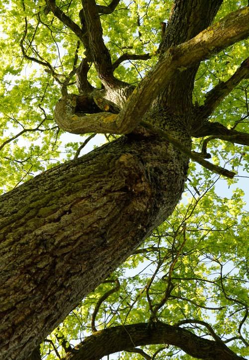 Starke Baumtypen: Eiche im Seidengewand 10