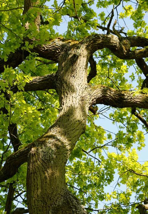 Starke Baumtypen: Eiche im Seidengewand 11