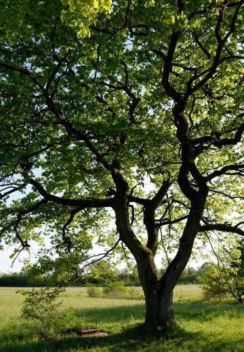 Starke Baumtypen: Eiche im Seidengewand 12