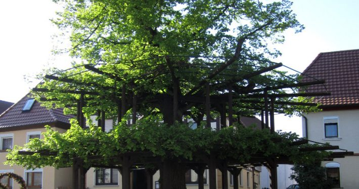 Baum der Bayern: Tanzlinde in Isling