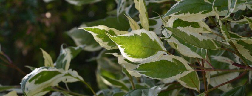 Zweig eines Strauches an dem Blätter mit weißem Rand sind