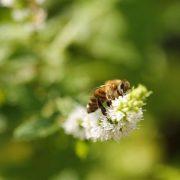 Biene sitzt auf einem Blütenzweig