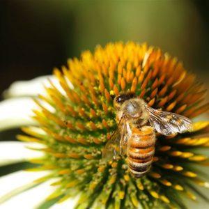 Biene saugt Nektar an einer Blüte