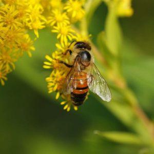 Biene sitzt auf gelben Blüten
