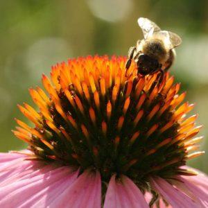 Biene saugt an einer Blüte