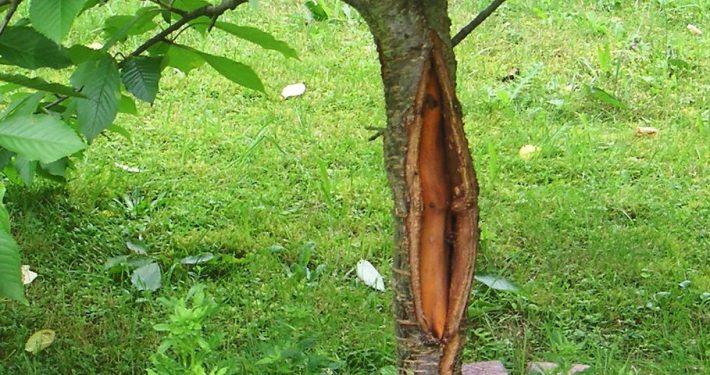 Stamm eines Obstbaumes mit großem Riss