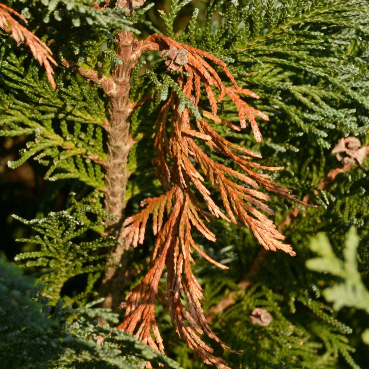 Borkenkaefer an Lebensbaum und Wacholder
