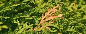 Zwischen grünen Zweigen eines Lebensbaums ist ein brauner verdorrter Zweig