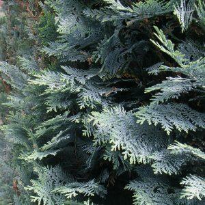 Detailansicht einer Lebensbaum-Hecke