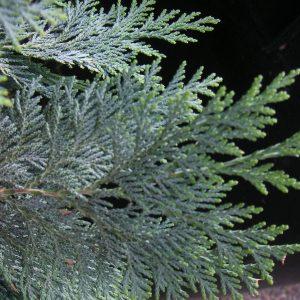 Zweig eines Lebensbaumes